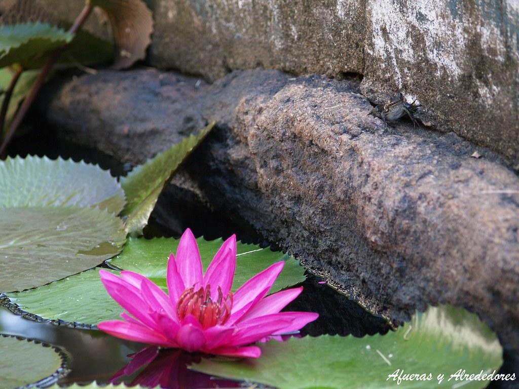 El prncipe rana y la flor de loto prince frog and the l flickr el prncipe rana y la flor de loto prince frog and the lotus flower izmirmasajfo