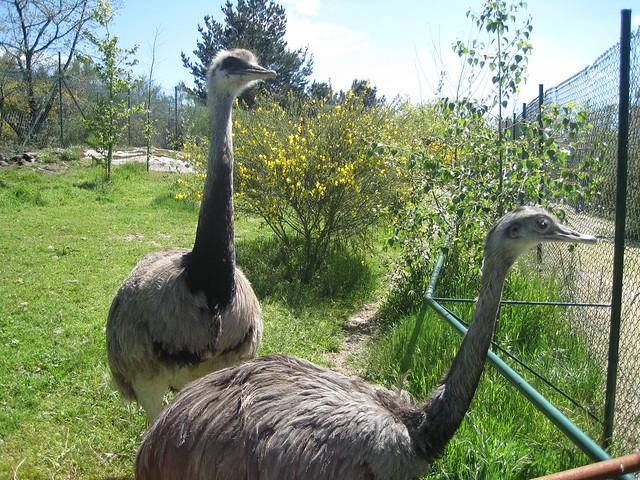 Ñandú en Avifauna Parque Zoológico Ornitológico