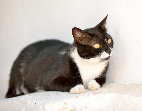 Gitana, gata blanquinegra dulce y tranquila esterilizada, nacida en Febrero´14, en adopción. Valencia. ADOPTADA. 28808136373_8162c00f3c