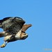 Red-tailed Hawk_022