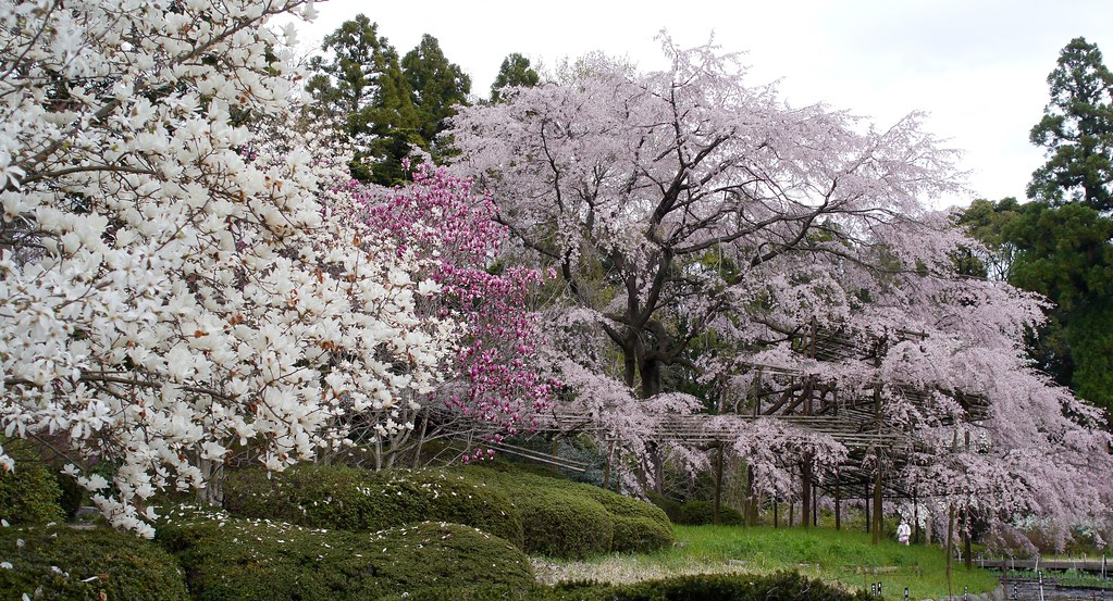 a weeping cherry tree. 枝垂れ桜