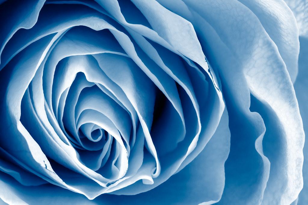 blue rose macro hdr white rose macro with blue