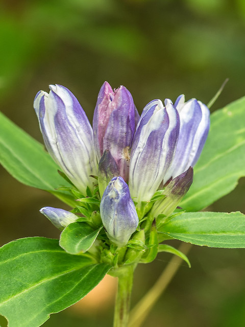 Soapwort Gentian or Harvest Bells