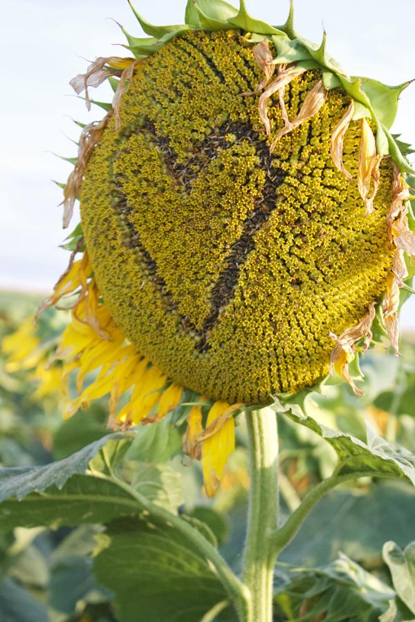 sunflower rochester ny