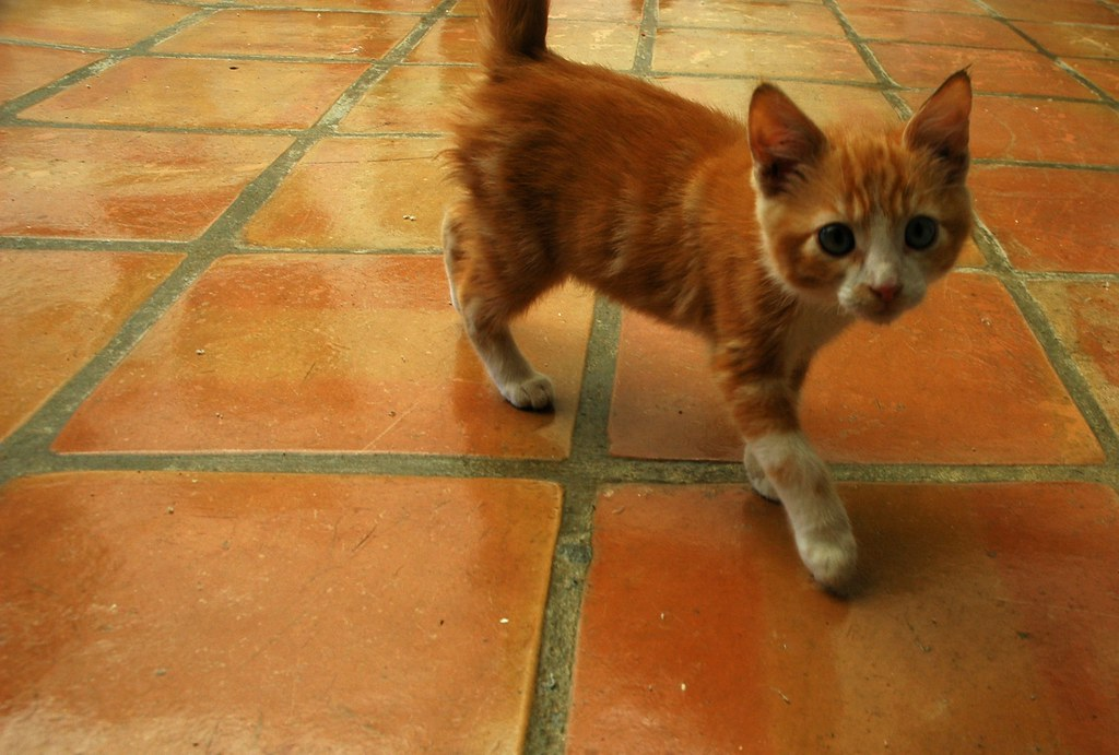 Orange tabby kitten, Mexican tile, Baja's Best El Rosario ...