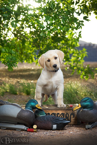 jack the yellow lab   9 weeks old he s growing fast and
