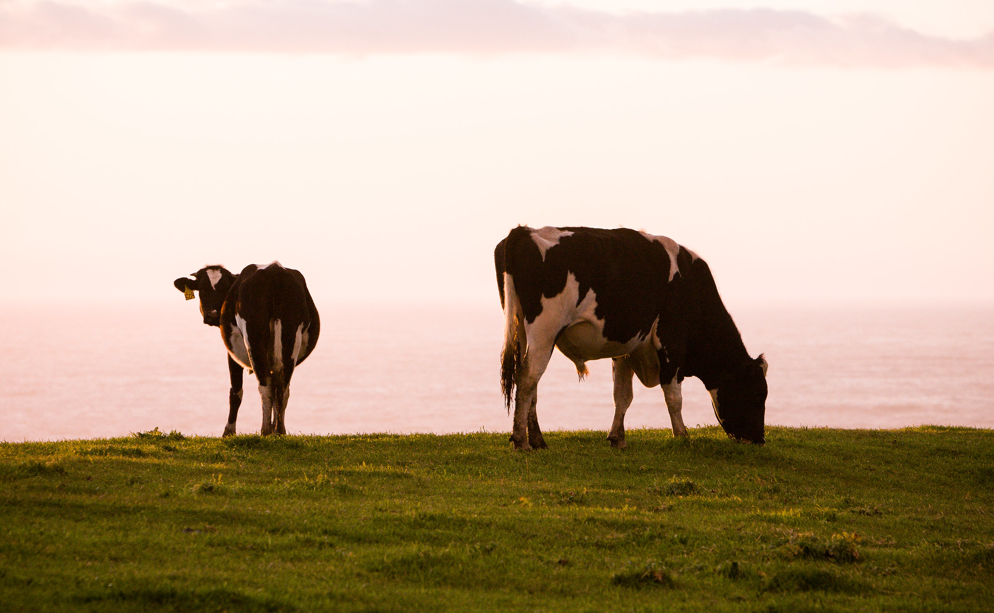 Cows grazing inside Point Reyes during the sunset