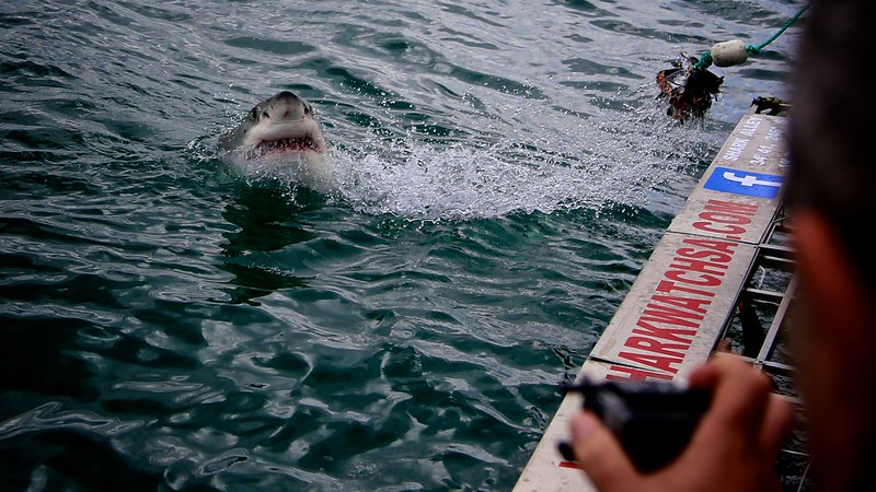 Gansbaai South Africa Great White Shark Cage Dive