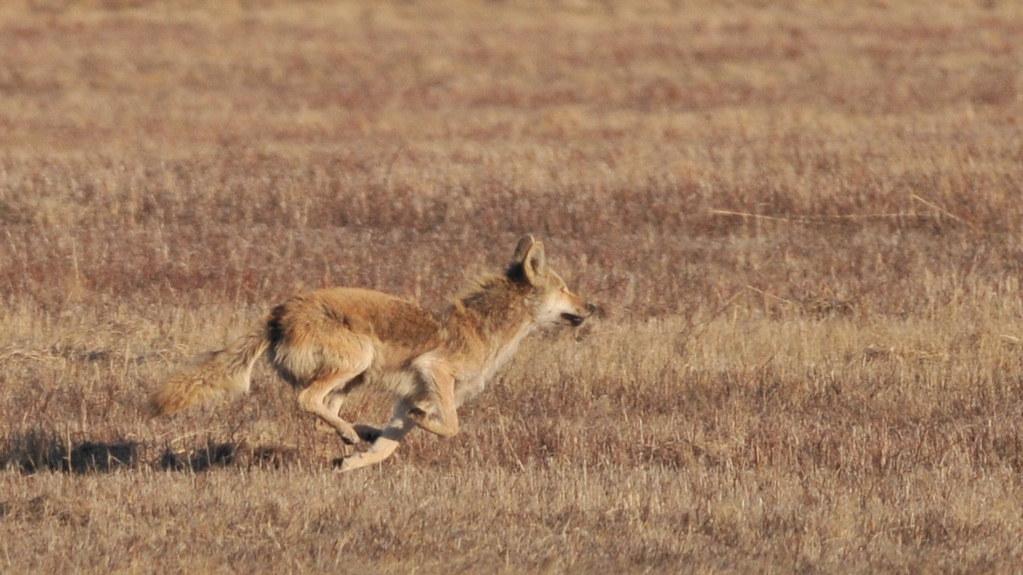 Running Coyote | Kathy Davis | Flickr  Running Coyote ...