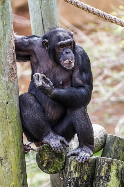 208 best Chimp images on Pinterest | Monkeys, Orangutans ...  |Chimp Sitting