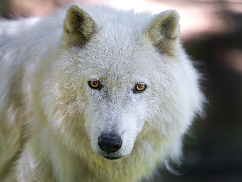 Portrait Of A Polar Wolf A Closer Look At One Of The