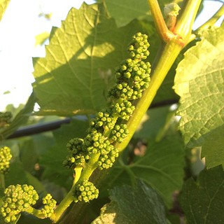 Baby Chardonnay grapes before flowering. #beautiful #iphonesia | by jordanwinery.com