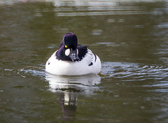 Purple Goldeneye