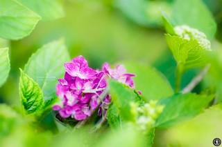 hortensia flower photography