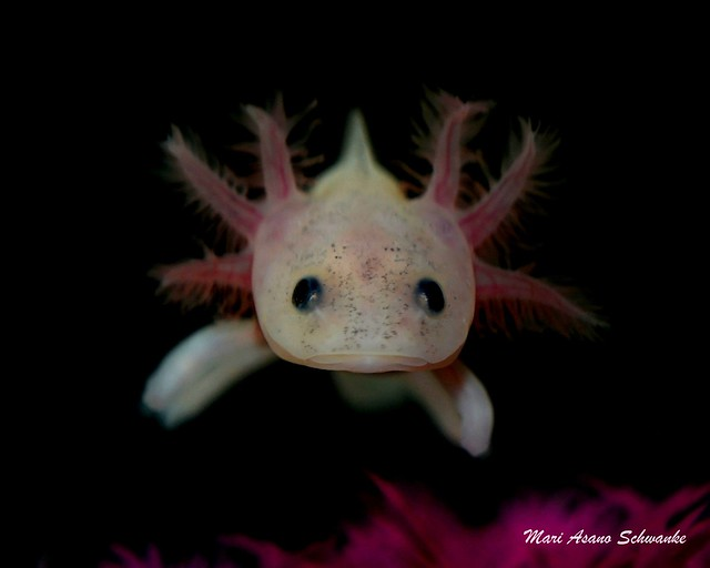 leucistic axolotl baby flickr photo sharing mexican food logansport in mexican food mascoutah il