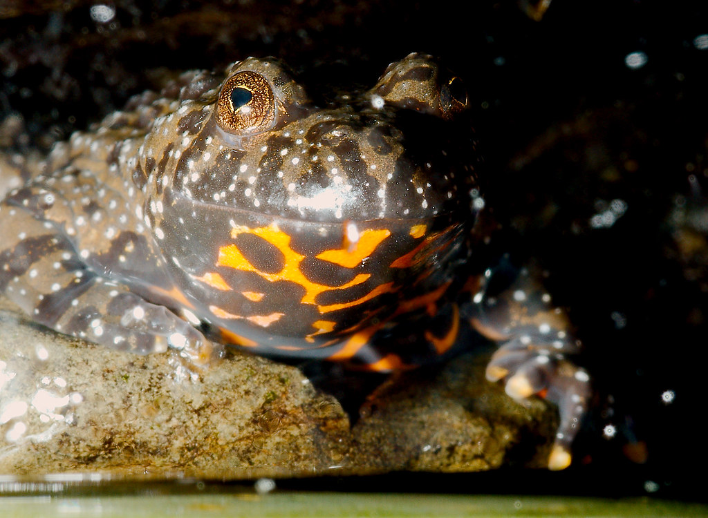 Fire Bellied Toad Room Temperature