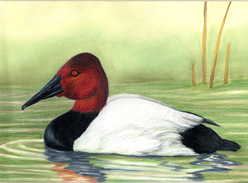 Jrduck2013ky 2013 junior duck stamp best of show for Kentucky fish and wildlife jobs