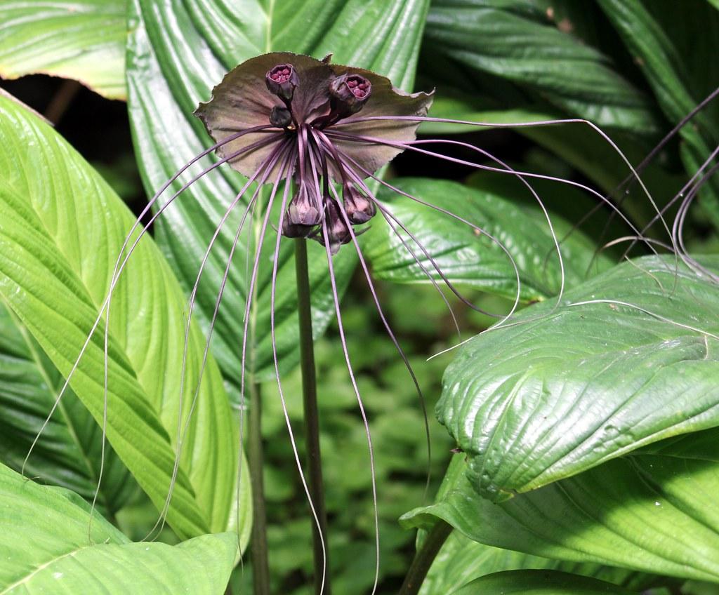 BAT FLOWER 1 A black Bat Flower is in fully open position…