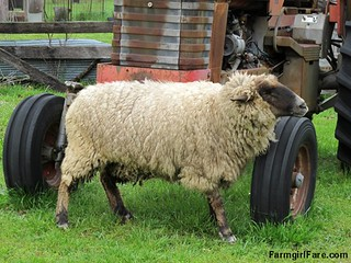 Sheep heading out to eat breakfast (9) - A really big itch FarmgirlFare.com | by Farmgirl Susan