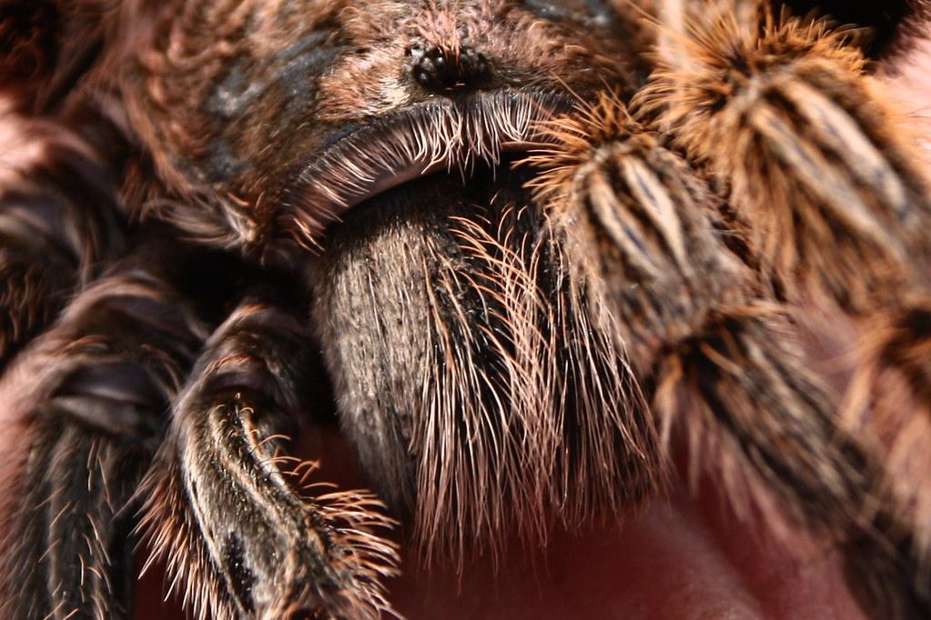 Tarantula Eyes Tarantula Eyes Mandibles