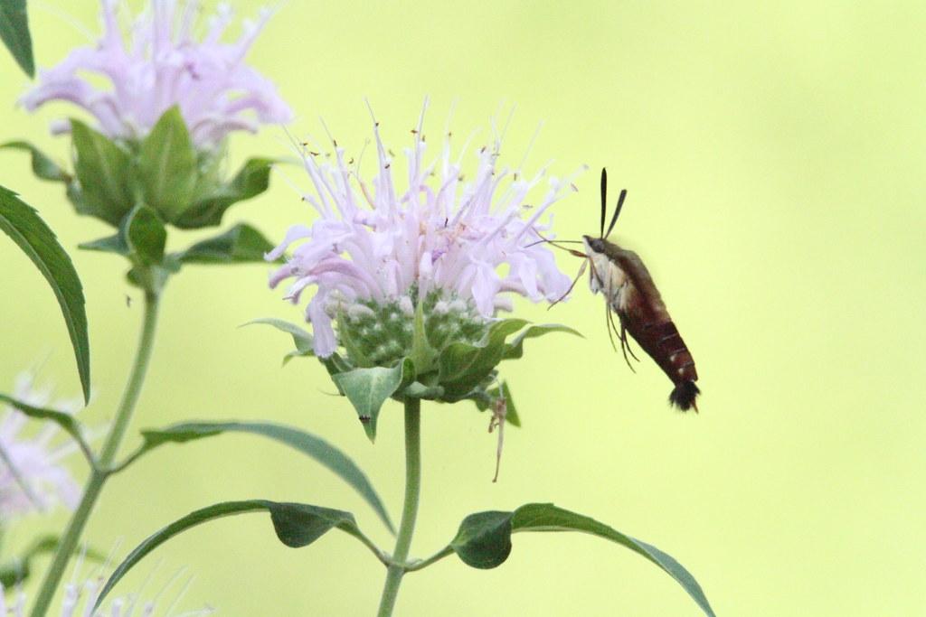 moth, clearwing hunmingbird  IMG_4582