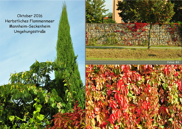 Oktober 2016 Mannheim-Seckenheim Kerwe Umgehungsstraße Wilder Wein Herbstliches Flammenmeer Feuerfarben Verfärbung ... Fotos und Collagen: Brigitte Stolle Mannheim