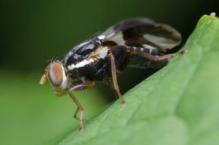 Apple Maggot Fly Natural Selection