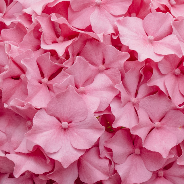 close up of pink hydrangea