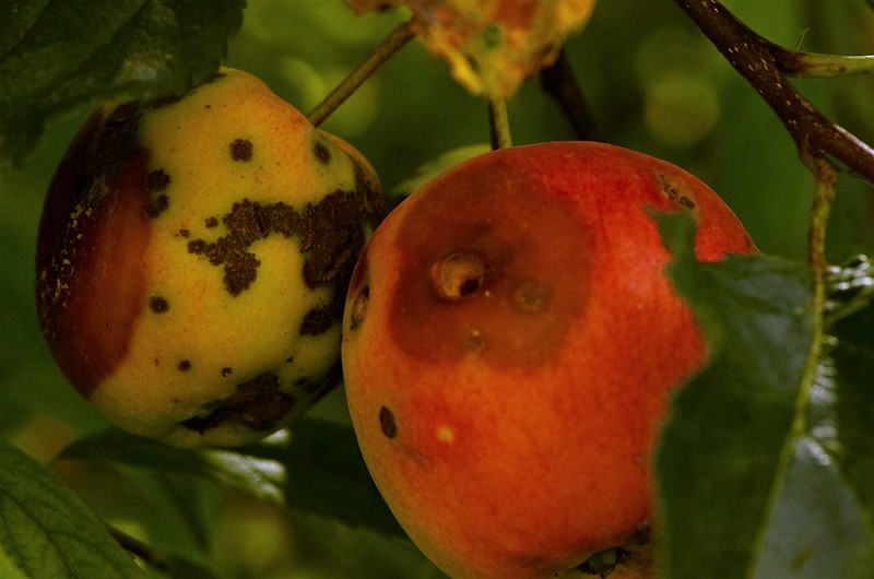 Gala Apples 30.08 (2)