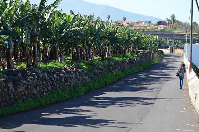 Banana plantation, Tenerife