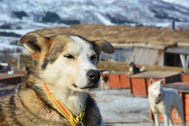 Perro de trineo en Laponia Noruega