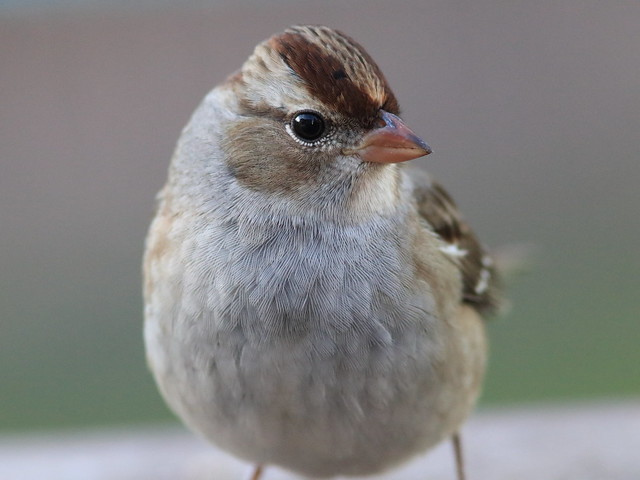 White-crowned Sparrow portrait 03-20161014
