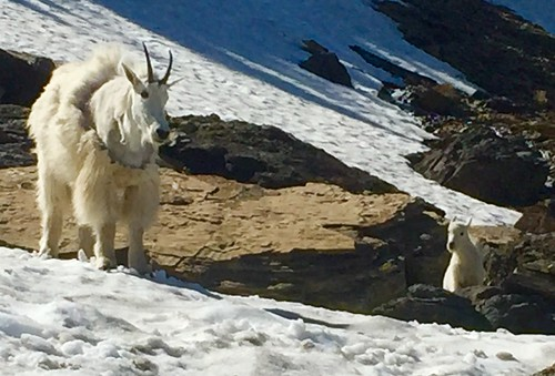 Glacier-MountainGoats | by joydeanlee