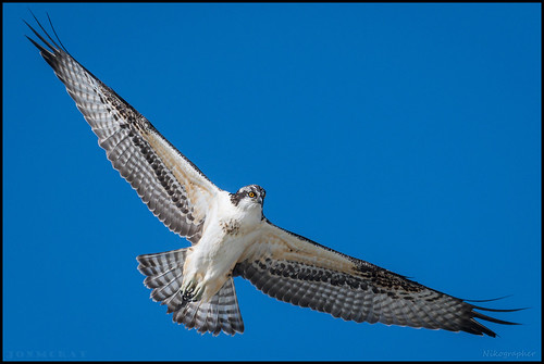 Juv. Osprey @ Cape May NJ | by Nikographer [Jon]
