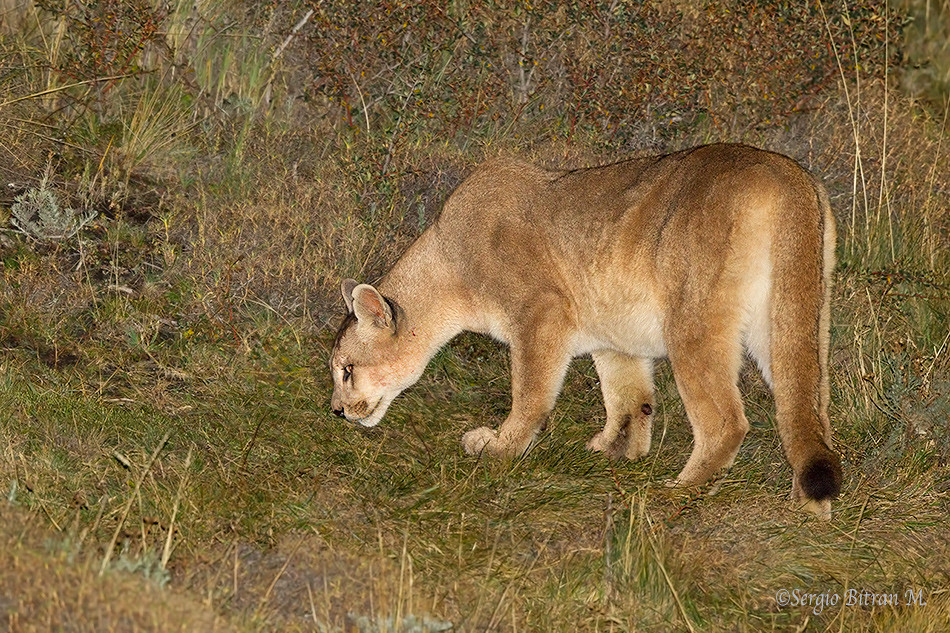de leon cougar women This article will not deal with cougar women but with the animal puma concolor also known as cougar, mountain lion, puma, mountain cat.