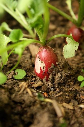 radish ants | by by hand at home