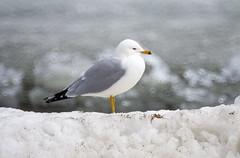 Frosty Gull