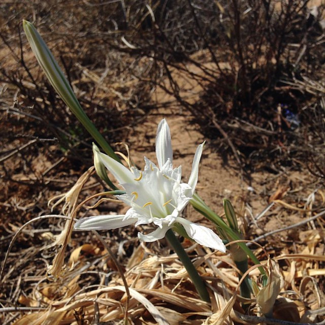 Beach lily on the dunes
