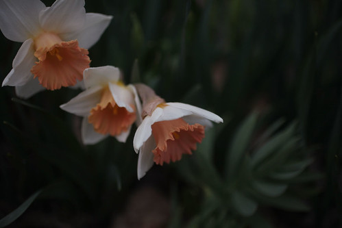 narcissus4 | by Sarah Ryhanen