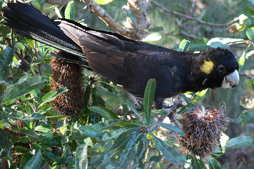 Black Cockie tearing up a Banksia