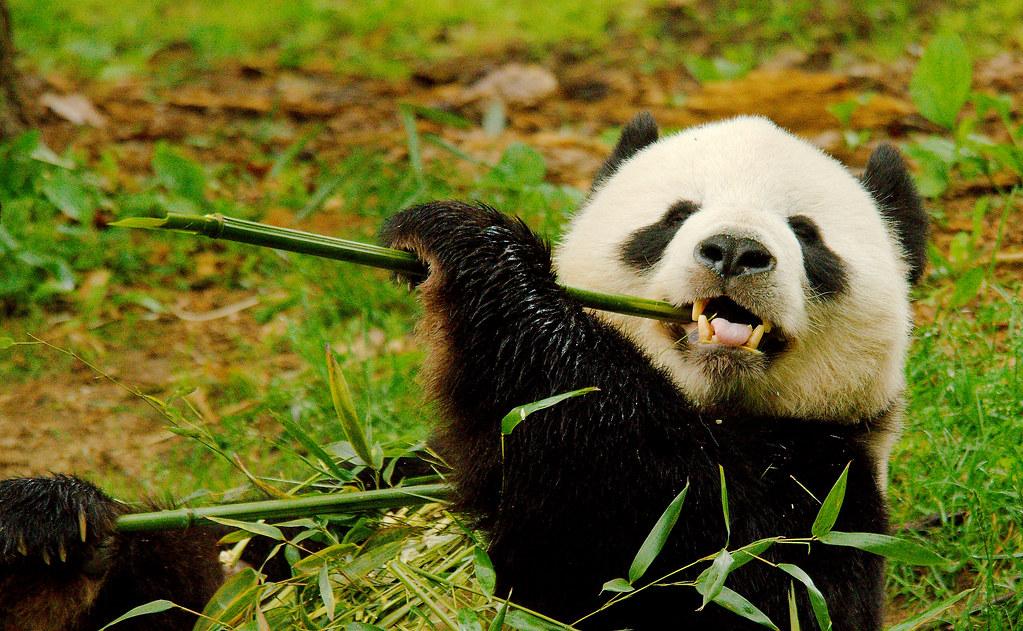 Panda (Ailuropoda melanoleuca_7
