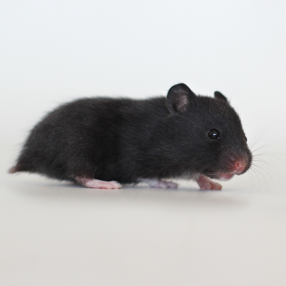 Loðholts Náttfari | Black Syrian hamster baby boy ...