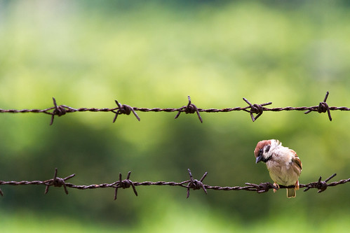 """鐵絲網麻雀 Sparrow on barbed wire"" / 自然 Nature / SML.20130501.7D.40798"