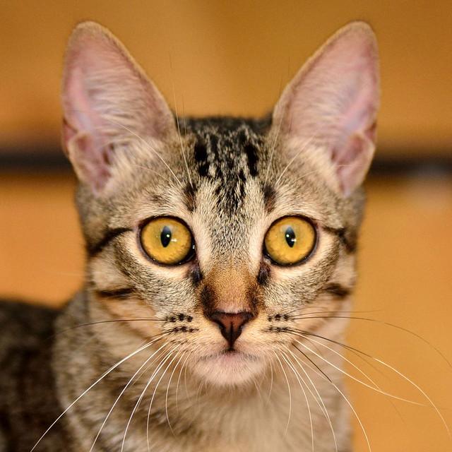 Muriel, gatita atigrada parda tímida y dulce esterilizada, de ojos cobrizos, nacida en Abril´16, en adopción. Valencia. 28987503094_579d0830cc_z