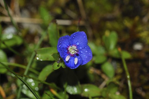 Rock Speedwell | by markhows