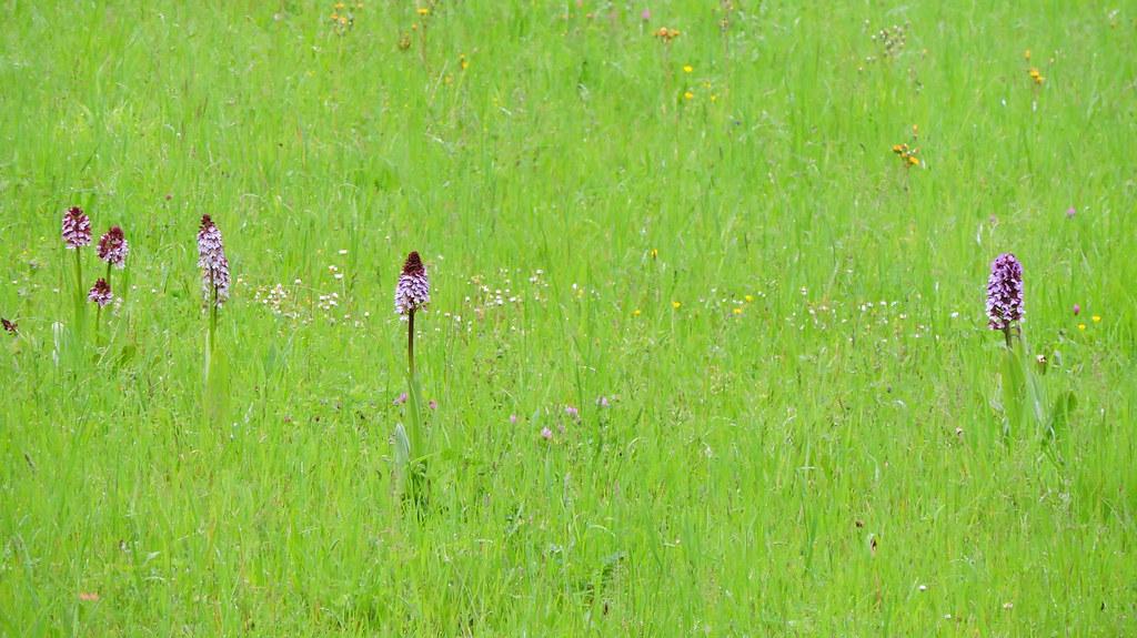Orchis purpurea
