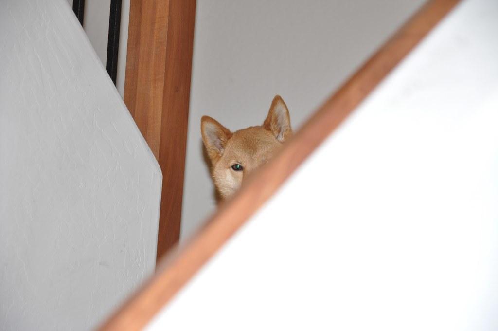 Does Shiba Inu Make A Good Service Dog