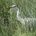 Heron hunting Ken Mee July 2012 (1)