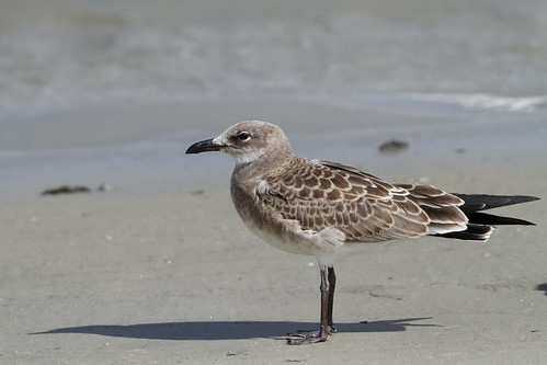 Juvenile Laughing Gull at Mayport Village, FL | by dcstep