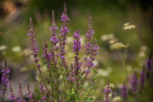 Purple Loostrife | by Mark Heine Photos